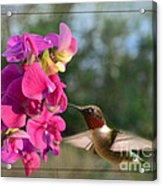 Sweet Pea Hummingbird II Acrylic Print