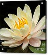 Sweet Peach Water Lily Acrylic Print