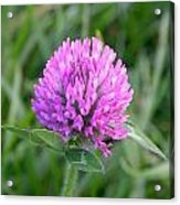 Sweet Pink Clover Acrylic Print