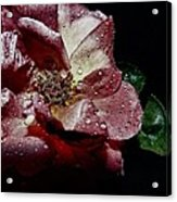 Sweet Rose Acrylic Print