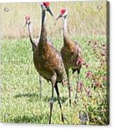 Sweet Sandhill Crane Family Acrylic Print