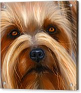 Sweet Silky Terrier Portrait Acrylic Print