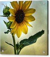 Sweet Summer Sunflower Acrylic Print