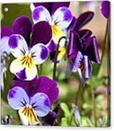 Sweet Viola Acrylic Print