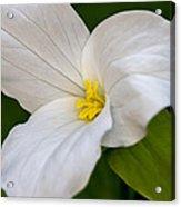 Sweet White Trillium 5 Acrylic Print