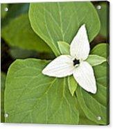 Sweet White Trillium Acrylic Print