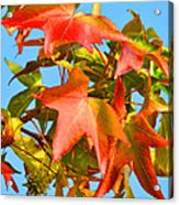 Sweetgum Leaves In Autumn Acrylic Print