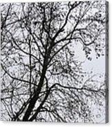 Sweetgum Silhouette On A Rainy Day Acrylic Print