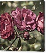 Sweetly Pink Acrylic Print