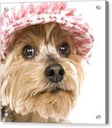 Swett Yorkie Face Acrylic Print