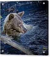 Black Bear On Blue Acrylic Print