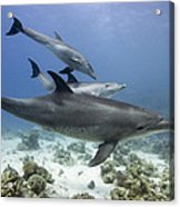 swimming Bottlenose dolphins Acrylic Print