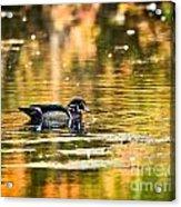 Swimming In Gold Acrylic Print