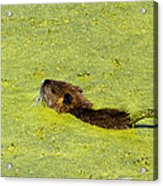 Swimming In Pea Soup - Baby Muskrat Acrylic Print