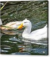 Swimming In The Pond Acrylic Print