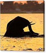 Swimming Kalahari Elephants Acrylic Print