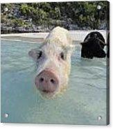 Swimming Pigs Acrylic Print