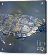 Swimming Turtle Acrylic Print