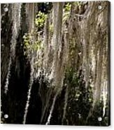 Swinging Spanish Moss Acrylic Print