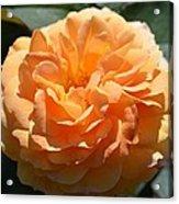 Swirling Peach Rose Acrylic Print