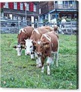 Swiss Cows Acrylic Print