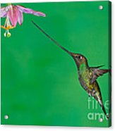 Sword-billed Hummer Acrylic Print