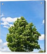 Sycamore  Acer Pseudoplatanus Acrylic Print