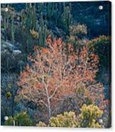 Sycamore And Saguaro Cacti, Arizona Acrylic Print
