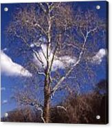 Sycamore On The Hill Acrylic Print