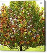 Sycamore Tree Acrylic Print