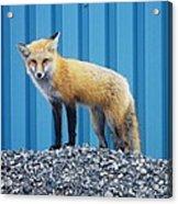 Sydney Fox Acrylic Print