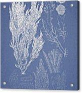 Symphocladia Linearis Acrylic Print