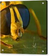 Syrphid Eyes And Antennae Acrylic Print