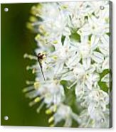 Syrphid Feeding On Alliium Blossom Acrylic Print