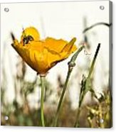 Syrphid Fly And Poppy 2 Acrylic Print