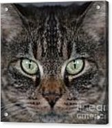 Tabby Cat Face Acrylic Print