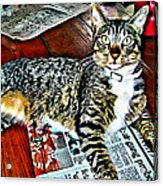 Tabby Cat On Newspaper - Catching Up On The News Acrylic Print
