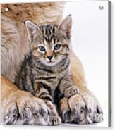 Tabby Kitten Between Large Dogs Paws Acrylic Print