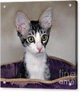 Tabby Kitten In A Purple Bed Acrylic Print
