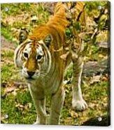 Tabby Tiger IIi Acrylic Print