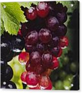 Table Grapes Closeup Acrylic Print by Craig Lovell