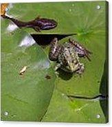 Tadpole And Frog Acrylic Print