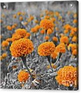 Tagetes Erecta / Aztec Marigold Flower Acrylic Print