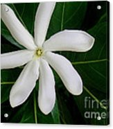 Tahitian Gardenia Acrylic Print