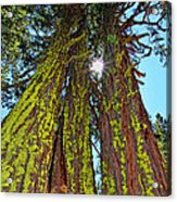 Tahoe Trees - Lake Tahoe By Diana Sainz Acrylic Print