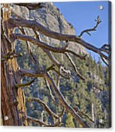 Tahquitz And The Pine Acrylic Print