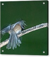 Tail Feathers Acrylic Print