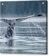 Tail Of Humpback Whale Acrylic Print