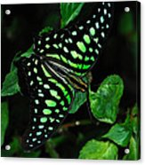 Tailed Jay Butterfly Acrylic Print