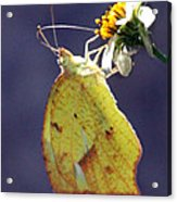 Tailed Orange Butterfly Acrylic Print